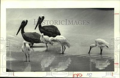 1982 Press Photo Two Brown Pelicans, four roseate spoonbills, Galveston, Texas