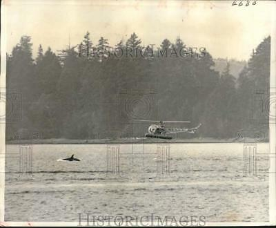 1965 Press Photo Ted Griffin in helicopter tries to capture female killer whale