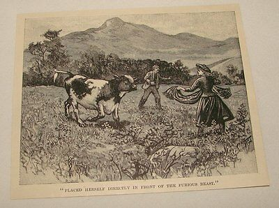 1895 magazine engraving ~ WOMAN STANDING BEFORE CHARGING COW