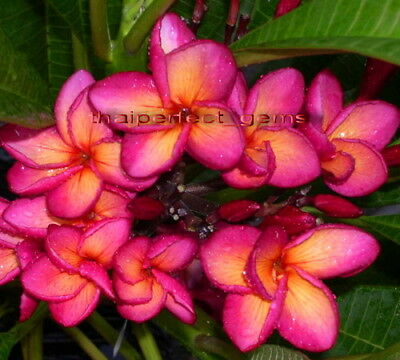 """Cutting//Grafted plumeria//Plants///""""Mixed 6 Types/"""" //10-12 inches"""