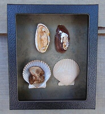 Real MUSSEL & SCALLOP anatomy Mollusk Pecten 5X6 framed mount Taxidermy Display