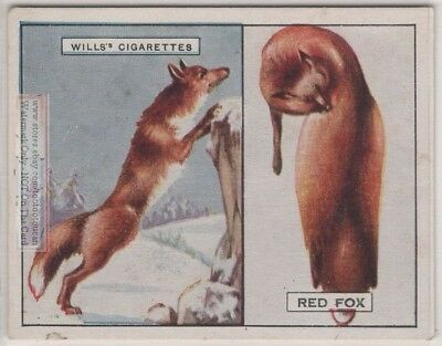 Red Fox And Its Fur Pelt Trapping Hunting c90 Y/O Ad Trade Card
