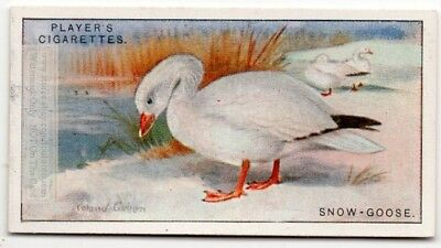 Snow Goose.Chen hyperboreus Waterfowl Bird c90  Y/O Ad Trade Card