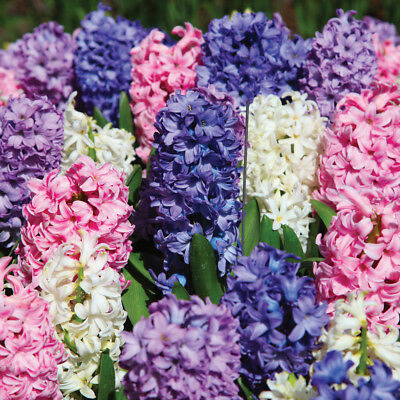 Hyacinth Bulbs Plants Hardy Spring Flowering T&M Mix Packs of 8,16,32 T&M