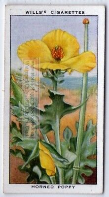 Yellow Horned Sea Poppy Sand Flower c80 Y/O Ad Trade Card