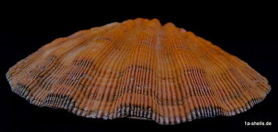 MUSCHEL XL 139 mm voll ORANGE lyropecten subnodosus MEXICO