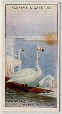 Whooper Whistling Swan Bird c90  Y/O Ad Trade Card