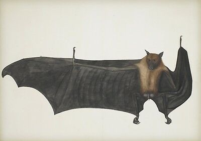 "1780- The Fruit Bat, antique art print, Bhawani Das, 20""x14"""
