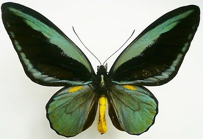 Ornithoptera Aesacus Male From Obi Isl.