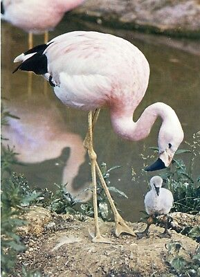 Andean Flamingo & Chick - Wildfowl Trust -  England - Postcard View