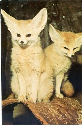 London Or Whipsnade Park Zoo - Fennec Foxes - Postcard View