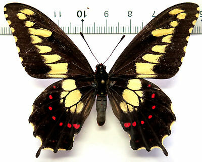 Papilio duponchelii male *Paraguay*