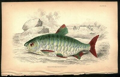 Large Scaled Chalceus Fish Otiginal Antique c1840 Jardine Hand Colored Engraving