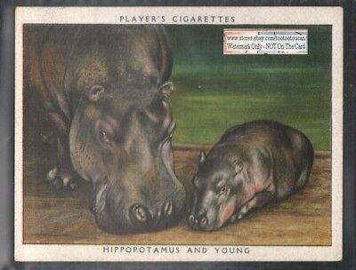 African Hippopotamus and Baby Hippo 1938 Trade Advertising Card