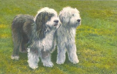 Vintage Old English Sheepdog Dog Postcard PC Switzerland c1960 Stehli