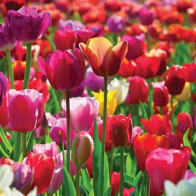 Bulbs Tulips Plants Hardy Spring Flower 'Majestic Mix' Packs of 50, 100, 200 T&M