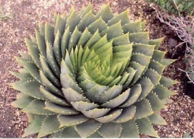 Aloe polyphylla - The Spiral Aloe - 5 Seeds