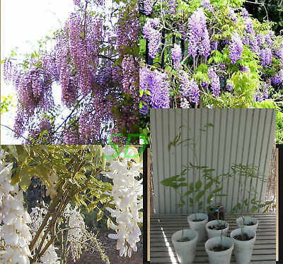 Wisteria Pink, White or Purple Flowers     ~~ PLANT ~~