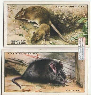 2 Rat Types - Brown Rat and Young - Black Rat 1930s Trade Cards 10