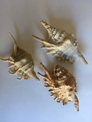 Group Of Three Spider Conch Shells 13cm,12cm and 11cm
