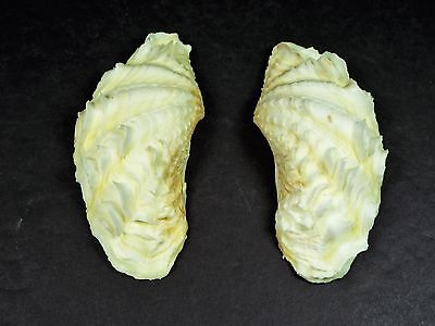 Tridacna Squamosa Fluted Scaly Clam Shell - 98 mm