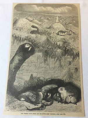 1880 magazine engraving ~ PRAIRIE DOG HOME + Unwelcome Visitors