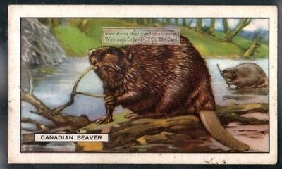 Canadian Beaver c80 Y/O Trade Ad Card