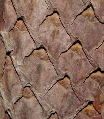 Lepidodendron, Nice preserved Carboniferous fossil plant