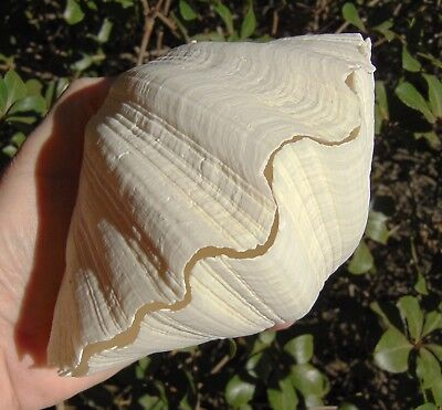 GC1) REAL GIANT CLAM SEASHELL PAIR genuine Tridacna Hippopus 6-1/2 inches
