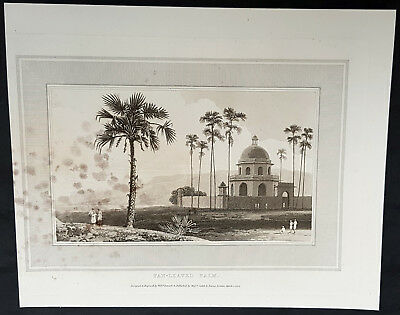 1809 William Daniell Antique Print of Indian Fan Leaved Palm Tree