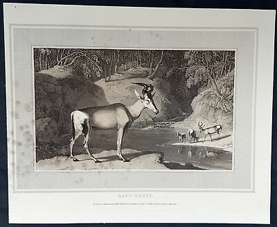 1809 William Daniell Antique Print The Hartebeest, Kongoni, African Antelope