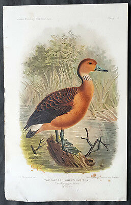 1890 J. G. Keulemans Beautiful Antique Print of Larger Whistling Teal, Duck