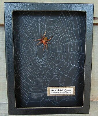 W1) Real Spotted Orb Weaver Spider on actual Web 6X8 framed shadowbox taxidermy