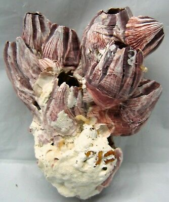 PURPLE BARNACLE NATURAL Small     Choose the one you want and click on it to buy