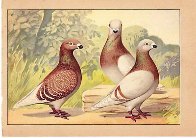 Schachtzabel Book Of Pigeons ~1914 ~One Print~Red Homers~Print #21