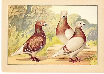 Schachtzabel Book Of Pigeons ~1914 ~One Print~Silver Homers ~Print #33