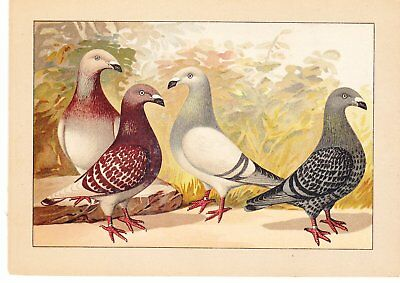 Schachtzabel Book Of Pigeons ~1914 ~One Print~Exhib Homers ~Print #34