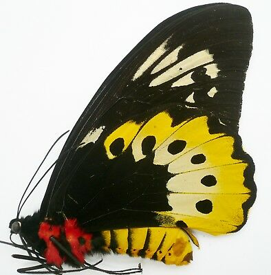 Ornithoptera Goliath Atlas Female From Nabire, Irian Jaya A-
