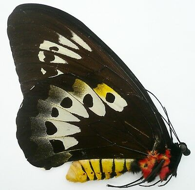 Ornithoptera Goliath Procus Female From Ceram Isl. A-