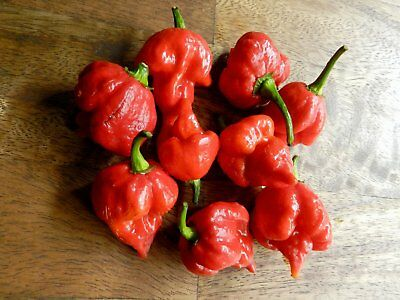Vegetable Hot Chilli Pepper  Trinidad Scorpion Butch T 10 Seeds