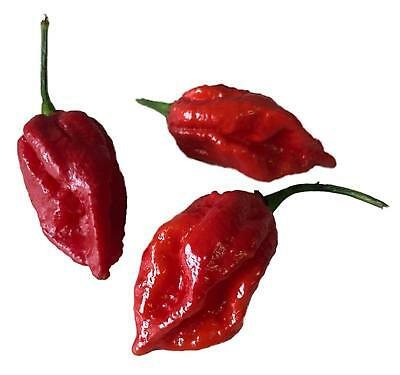 Vegetable Hot Chilli Pepper  Naga Viper 10 Finest Seeds