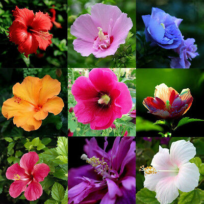 100Pcs Rare Giant Hibiscus Exotic Coral Seeds Home Garden Flowers Plant Decor CA