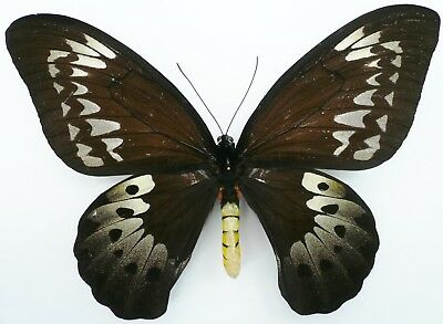 ORNITHOPTERA GOLIATH PROCUS FEMALE FROM CERAM ISL.  XL 20+ cm