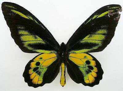 Ornithoptera Rothschildi Male From Arfak, Irian Jaya A2