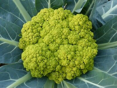 CAULIFLOWER 'Green' 120+ seeds vegetable UNUSUAL RARE winter garden HEIRLOOM