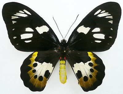 Ornithoptera Meridionalis Female From Timika