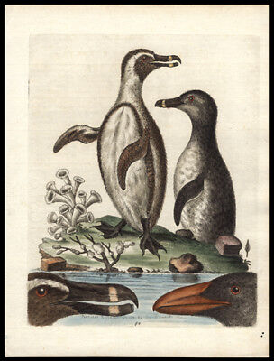 1760 Original George Edwards Hand Colored Copper Engraving Black-Footed Penguin