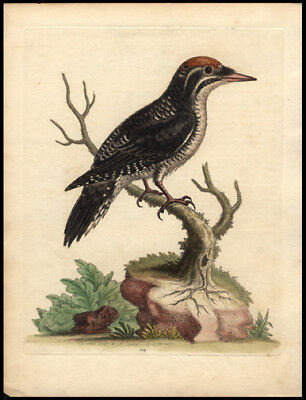 3 Toed Woodpecker1750 Original George Edwards Hand Colored Copper Engraving