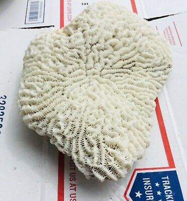 Beautiful BRAIN CORALS  weighs about 4 1/2 lb Saltwater And Freshwater