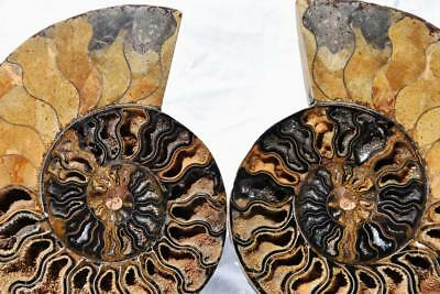 2270xx Cut Split PAIR Ammonite Deep Crystal Cavity 110myo Fossil 205mm XXXL 8.1""